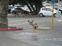 One charming thing about JPL is how animals, such as these deer, live on and around campus.
