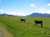 Typically dark NZ cows, with sheep and mountains in the background