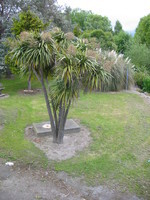 One of the many typical Cabbage Trees, resembling palm trees but not too closely related, named after the taste of an edible part.
